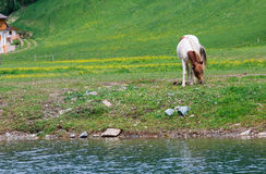 Horses grazing Royalty Free Stock Photography