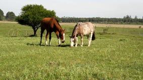 Horses grazing stock video