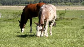 Horses grazing stock video footage