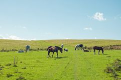 Horses grazing on the Autumn landscape in the mountains of the Brecon beacons in the British countryside. A rural autumn landscape scene with some horses in the royalty free stock photos