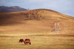 Horses grazing in autumn prairie. Horses grazing in prairie with colorful trees in autumn stock images