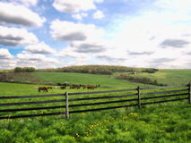 Horses grazing. In a beautiful meadow in spring Royalty Free Stock Photography