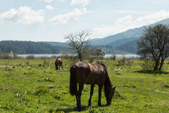 Horses Grazing. A beautiful and peaceful lake tucked away in the Bolu region of Turkey Stock Image