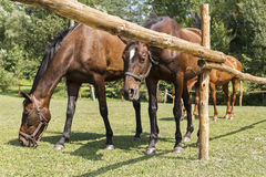 Horses grazing behind a wooden fence Stock Image