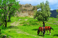 Horses grazing in Boltana Castle, in Huesca, Spain Stock Photos