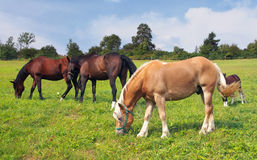 Horses grazing. Brown and beige horses and colt grazing in a field Royalty Free Stock Image