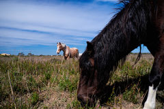 Horses grazing in the bush Stock Image