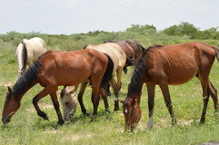 Horses grazing. Horses busy grazing in the bush Royalty Free Stock Photos