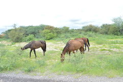 Horses grazing. Horses busy grazing in the bush Stock Photo