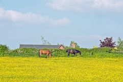 Horses grazing in a buttercup meadow in the English countryside. Some horses enjoying the summer sunshine and buttercups in the English countryside of royalty free stock image