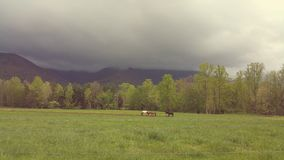 Horses grazing. Cades cove national park Stock Photography