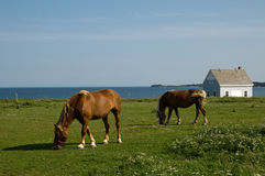 Horses grazing by the coast Royalty Free Stock Photo
