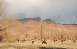 Horses grazing in colourful mountains. Horses grazing on foot of a Colourful mountain range in dry countryside, Argentina Stock Photos