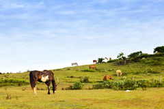 Horses Grazing. At Deep Hollow Ranch the oldest working ranch in the united States. Located in Montuak, Long island, New York Stock Images