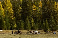 Horses grazing on the edge of a forest in autumn. Altai Republic Royalty Free Stock Photos