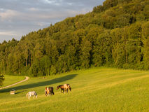 Horses Grazing In the Evening Stock Photography