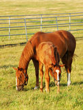 Horses grazing in farm Stock Images