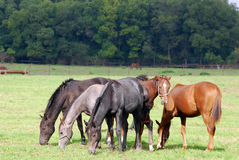 Horses grazing farm scene Royalty Free Stock Image