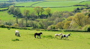 Horses grazing on a farmland Stock Images