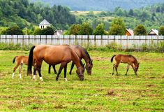 Horses grazing on the field. Horses grazing and taking rest on the green field stock photos