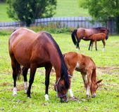 Horses grazing on the field. Royalty Free Stock Image