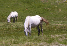 Horses grazing in field Royalty Free Stock Photography