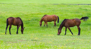 Horses grazing in field Royalty Free Stock Photo