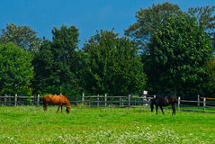 Horses grazing in a field. Stock Photography
