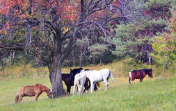Horses grazing in field Stock Photography