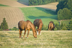 Horses Grazing in a Field. Rolling hills and farmland in the background...shot in Kraichgau, Germany royalty free stock photos
