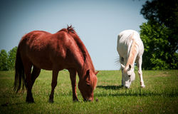 Horses Grazing in a Field Royalty Free Stock Photos