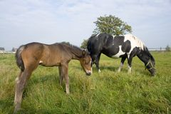 Horses grazing in field. A brown horse and a black and white horse stand side together, grazing in the meadow Stock Photography