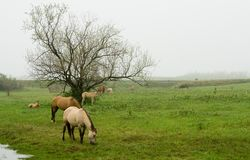 Horses grazing in field. Scenic view of quarter horse mares and foals grazing in countryside field with foggy background Stock Photography