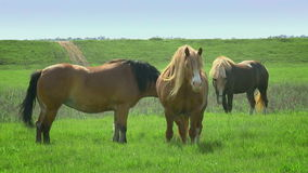 Horses grazing stock footage