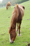 Horses grazing in field. Brown horse grazing in field in countryside Royalty Free Stock Photo