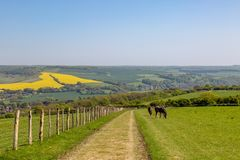 Grazing Horses. Horses grazing in a field along the South Downs Way, in Sussex royalty free stock photo