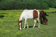 Horses grazing in a field of buttercups stock photo