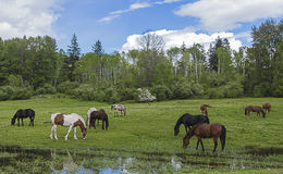 Horses Grazing. A few horses grazing in a field on a partially cloudy day Royalty Free Stock Photos