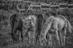 Horses grazing in field Stock Images