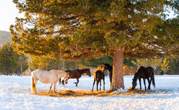 Horses grazing in a field Stock Images