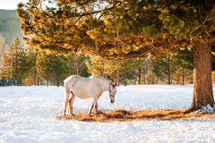 Horses grazing in a field Stock Photography