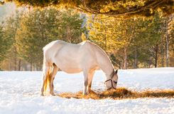 Horses grazing in a field Royalty Free Stock Photo
