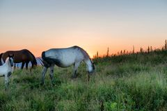 Horses grazing on a field Royalty Free Stock Image