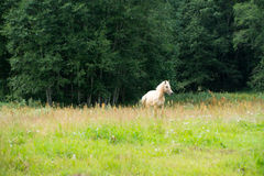 Horses grazing in a field near the forest Royalty Free Stock Photo