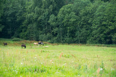 Horses grazing in a field near the forest Royalty Free Stock Photography