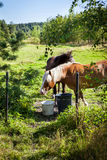 Horses grazing on field in summer day, much greenery, in Finland Stock Photography