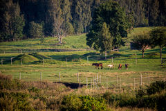 Horses grazing in a field Royalty Free Stock Photography