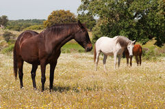 Horses grazing in the field Royalty Free Stock Photos