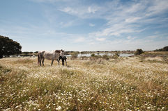 Horses grazing in the field on a sunny day Stock Photos