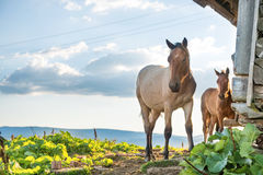 Horses grazing on a field Royalty Free Stock Photography